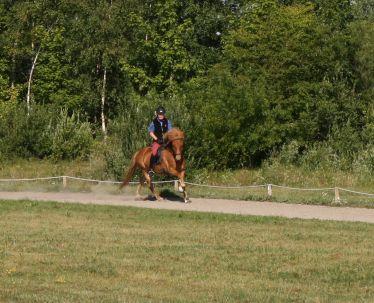 islandsk hest til salg